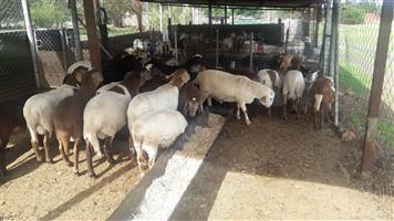 Meatmaster sheep lambs for sale