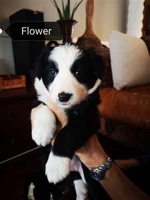 Border Collies puppies