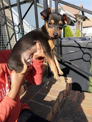 Pure breed  Miniature Doberman Male pup