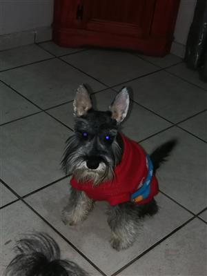 Adult Schnauzer for Sale