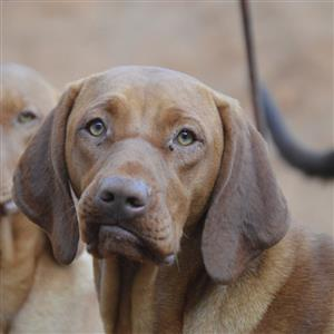 Hungarian Vizsla puppies