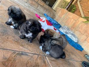 Pekingese Puppies X 4 Female