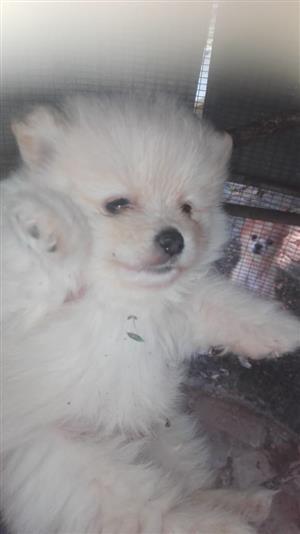 White Toypom male puppies