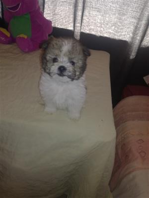 miniature morkie pups