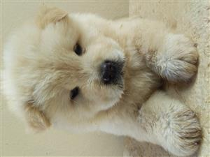 Cream /white chow chow puppies