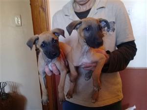 Stunning Ridgeback cross labrador puppies available