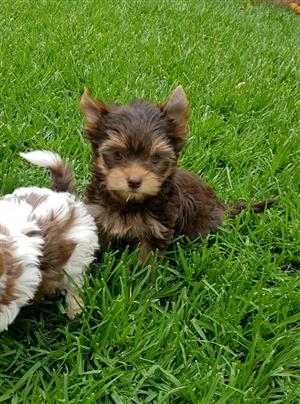Chocolate Yorkie puppy