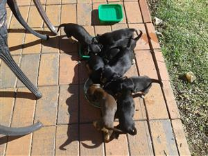 Puppies - doberman pincher/yorkie