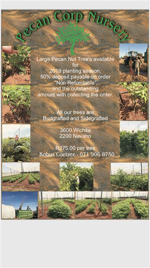 Pecan nut trees for sale