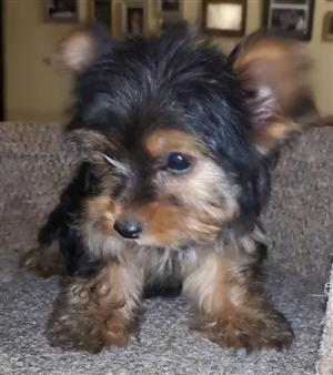 Beautiful Yorkshire Terrier miniature female puppy