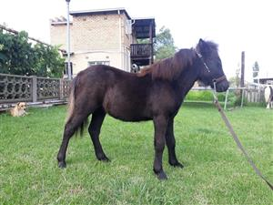 Miniature Mare Foal For Sale
