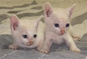 Beautiful pure white kitten for sale x3