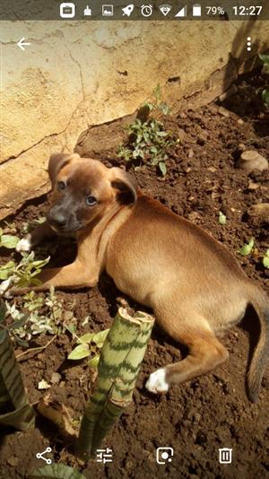 Labrador crossed Boston Terrier puppies for  sale.