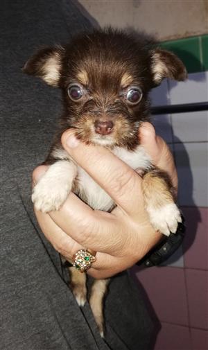 Cute Minpin x pups. 1 girl 2 boys.