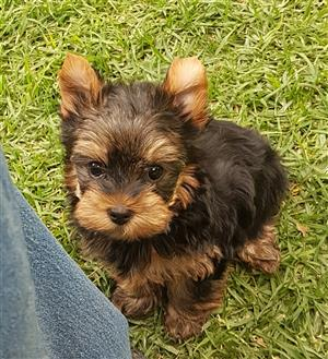 Pedigree Yorkie puppies
