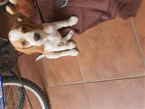 Male Lemon beagle for sale