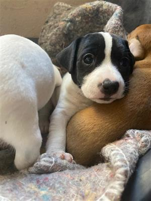 Jack Russel cross Fox Terrier puppies for sale.