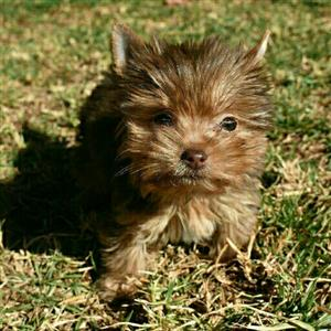 Pocket size chocolate female yorkie puppy