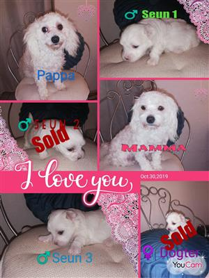 Miniature maltese puppies for sale