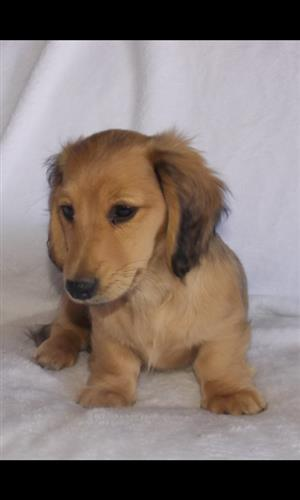 Miniature Long haired Dachshunds (Worshonde) for sale
