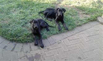 Two 14 week old female great dane pups
