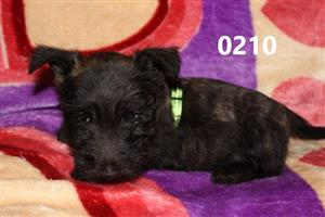 Scottish Terrier Brindle puppies for sale