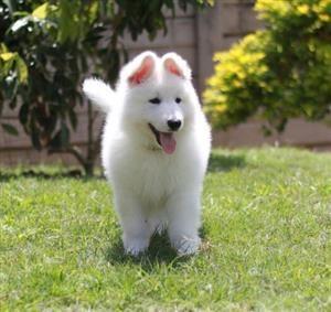 White Swiss Shepherd Puppies ready for new homes - Only 3 BOYS left