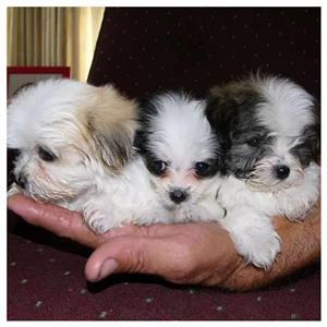 morkie pups