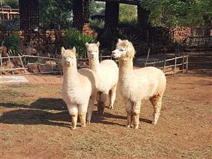 2x Alpakas teelpaar te koop