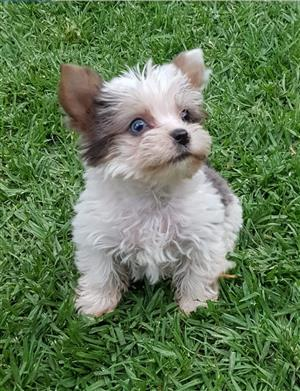 Pocket size Blueberry Tweed  Blue diamond Exotic Yorkie puppy available