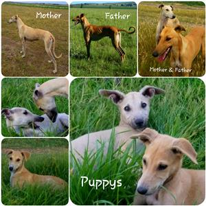Greyhound Pups for Sale