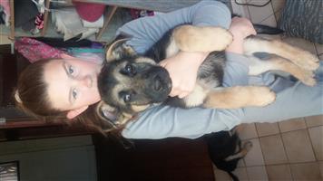 German Shepherd Male pup for sale