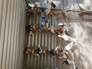 Birmingham Roller / Tumbler pigeons for Sale