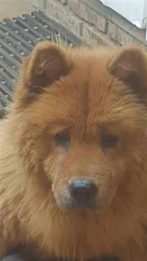 Male/Female Chow Puppies