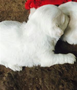 Toypom Cross Maltese puppies