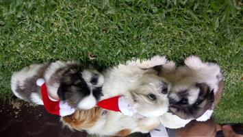 Pikengese Puppies for sale.