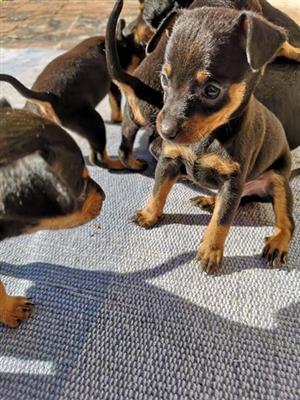 Miniature doberman pincher puppies for sale