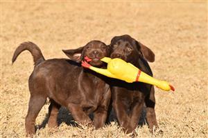 KUSA Registered chocolate Labrador puppies