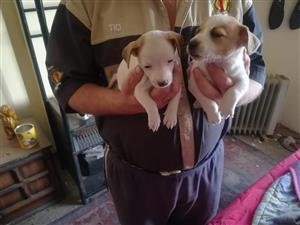shortleg jack Russel Puppie male
