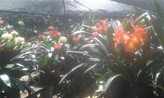 Clivias for sale