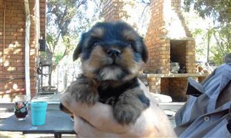 Yorkie puppys female