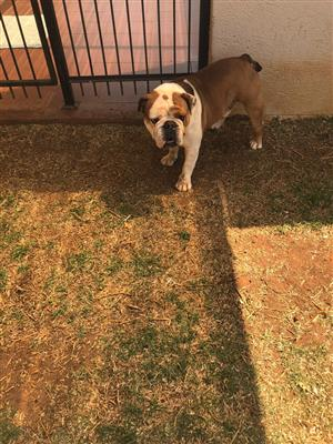 English bulldog reun te koop