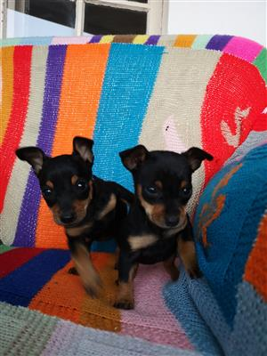 For sale 2 x miniature doberman pincer