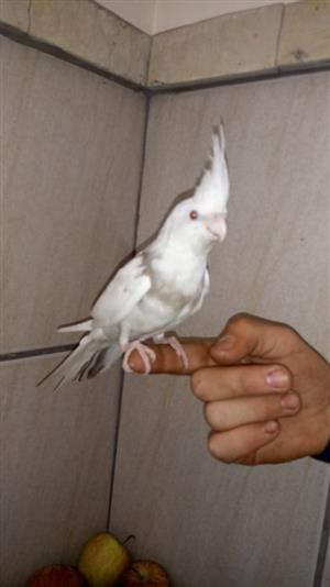 Tame Cockatiels for sale