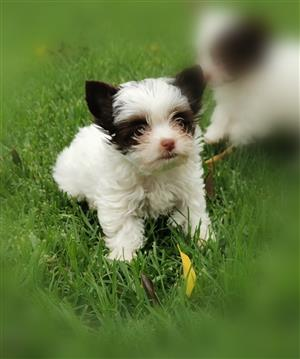 Adorable Teacup Biro Yorkie puppy available