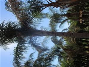 Palms for sale