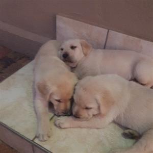 labrador blonde puppies