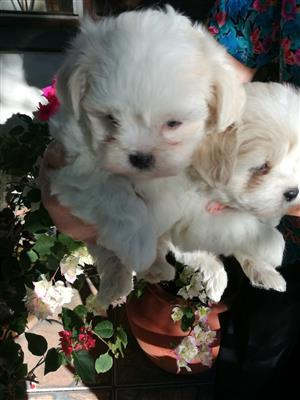 Beautiful mini Maltese puppies for sale-the puppies were born on 30 August and is 8 weeks old-they were inoculated and dewormed, the puppies are white and fluffy and real sweeties-R2500 please phone 0817732706
