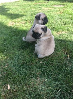 Kusa reg Pug puppies available