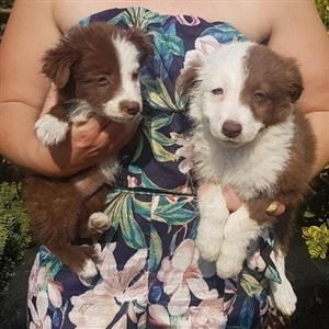 Chocolate And White Border collies